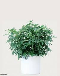 Great Indoor Trees Hgtv by Pothos A Member Of The Philodendron Family Is Fast Growing And