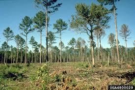 seed tree on shortleaf pine pinus echinata 4800029