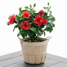 flower plants send a live hibiscus plant hibiscus flowers are amazing