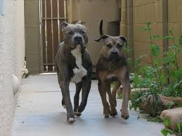 american pitbull terrier blue the thunderfoot nose amstaff and red youtube amstaff american