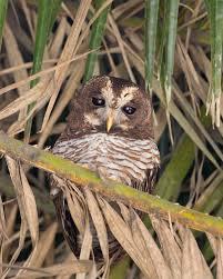 african wood owl wikipedia