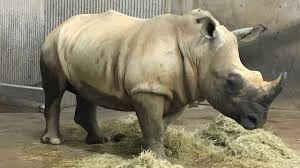 new rhino arrives at henry vilas zoo wisc