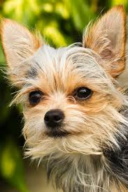short haired chorkie chorkie dog breed chihuahua yorkshire terrier mix