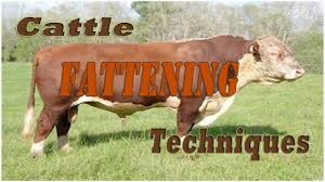 Backyard Cattle Raising Cattle Fattening Techniques Youtube