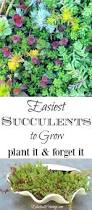 easiest succulents to grow clam shells clams and planters
