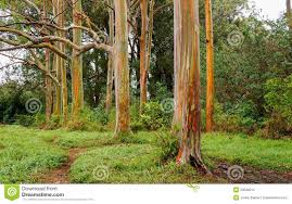 Rainbow Eucalyptus Rainbow Eucalyptus Trees Maui Hawaii Usa Stock Photo Image