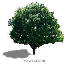 mexican white oak mtv trees