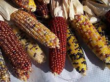 corn seed ebay