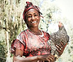a better backyard chicken for africa could help save the