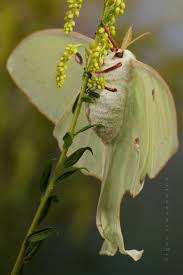 171 best luna moth images on pinterest luna moth tattoo