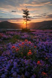 photos of the day a interesting photo of the day a meadow of flowers on mount st helens