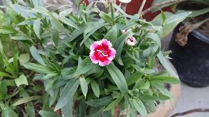 dianthus flower 165 how to grow dianthus plants how to grow winter flowers