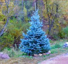 blue spruce 100 tree seeds evergreen colorado blue spruce seeds picea