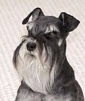 mini schnauzer haircut styles miniature schnauzer wikipedia