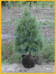 white pine tree evergreen balsam fir fraser fir maple white