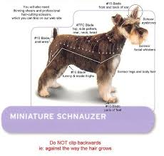 miniature schnauzer smart and obedient pup home mini