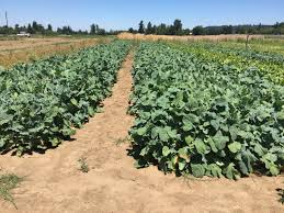 cover crops great basin seed