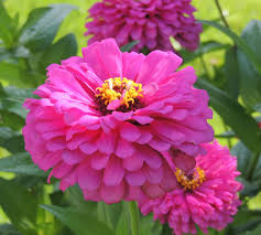 zinnia flower how to grow zinnia annual flowers plants zinnia seeds