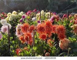 Different Types Of Garden - dahlia autumn flower stock images royalty free images u0026 vectors