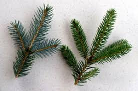 blue spruce pine trees for sale concord ohio lake county