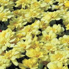 Marigolds Shade by Alumia Vanilla Cream Marigold Seeds