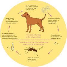 dirofilaria immitis wikipedia