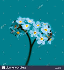 turquoise flowers forget me not myosotis arvensis flowers photographed on a