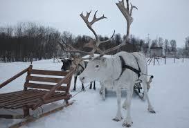 the reindeer an arctic symbol bivrost