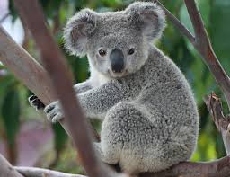 play users koala