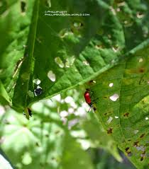 native florida plants florida u0027s biological warfare invasion of the leaf beetle and ice