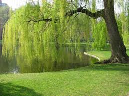 green weeping willow for sale low prices from tn tree nursery