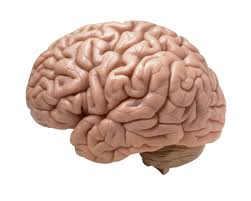 The Anatomy Of The Human Brain Tiny Sophisticated Human Brain Grown In A Dish Popular Science