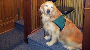 Comfort Golden Service Dog To Comfort Victim In New York Court U2013 Pawshpal