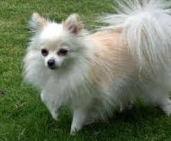 american eskimo dog puppies near me american eskimo dog toy breed information and pictures on