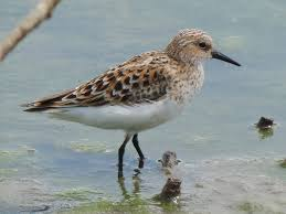 rare sandpipers backyard owls ant eating gulls wcai