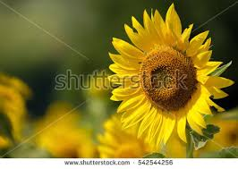 sunflower pictures sunflower stock images royalty free images vectors