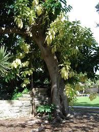 historic rubber tree in somers garden picture of somers garden