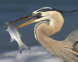 Heron Meaning by Great Blue Heron Audubon Field Guide
