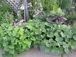 a corner garden ornamental sweet potatoes