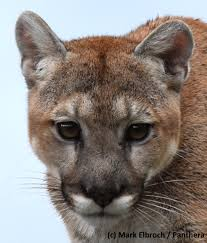 a win for wyoming people and mountain lions u2013 national geographic