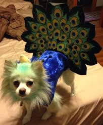 dog candy corn witch costume halloween pet parade vegas showgirl dog halloween and halloween