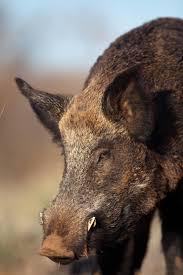 how to stalk wild hogs predator hunting realtree