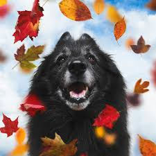 belgian sheepdog wolf mix wolf shadow photography art page 2 of 5 fine art america