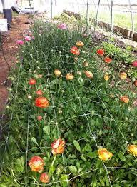 indoor planting indoor planting for 2015 ranunculus