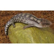 blotched bluetongue lizard as pets lizards for sale melbourne