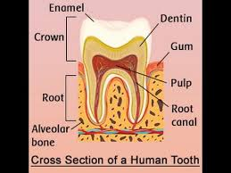 Human Dental Anatomy Human Tooth Anatomy With Labeled Diagrams Youtube