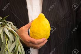 etrog for sale the etrog sale of ritual plants on the traditional pre