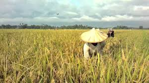 how rice is made
