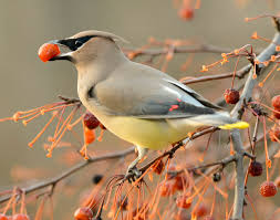 Kansas birds images Fall berries for the birds burroughs audubon society of greater jpg