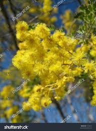 native australian flowering plants native australian wattle plant has many stock photo 1742012